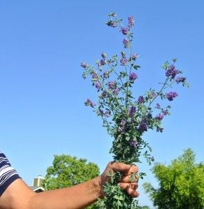 alfalfa ramo